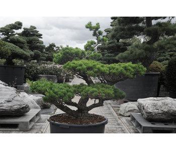 Pin blanc du Japon, 100 cm, ± 25 ans