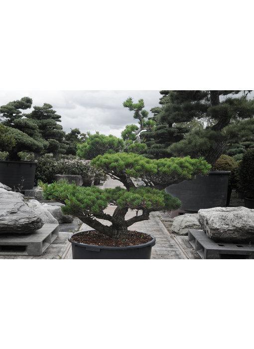 Japanse witte den, 100 cm, ± 25 jaar oud
