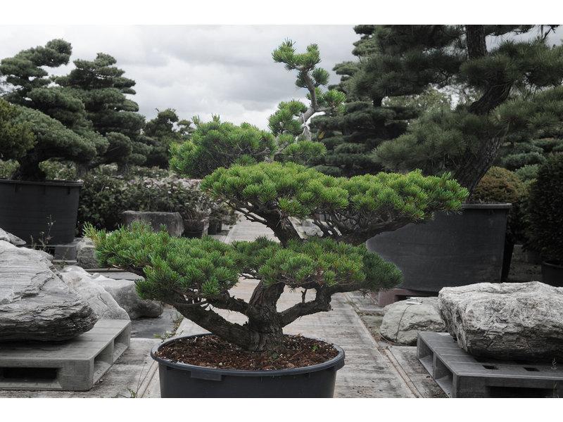 Pino bianco giapponese, 100 cm, ± 25 anni, in una pentola con una capacità di 90 litri