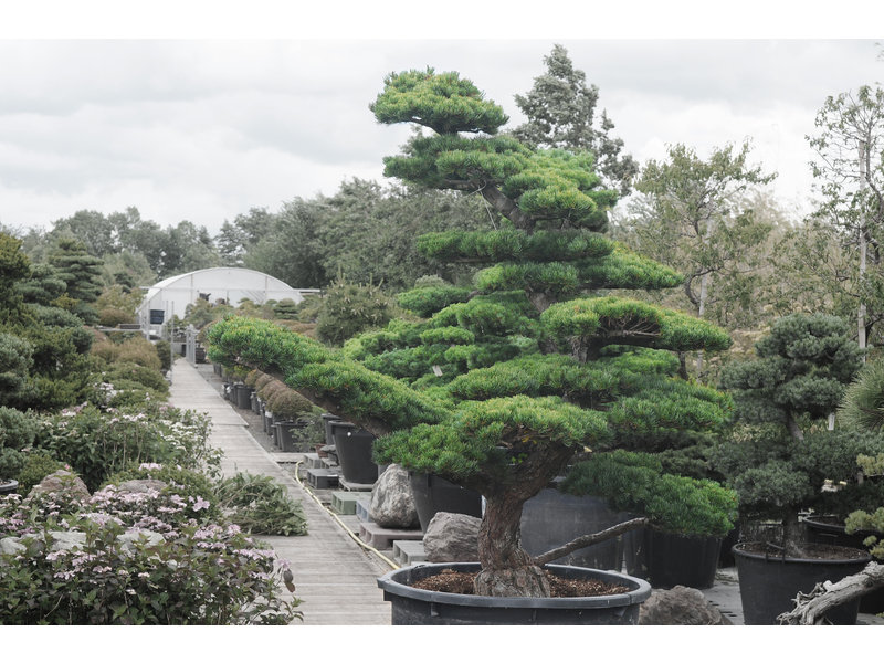 Japanse witte den, 200 cm, ± 30 jaar oud, in een pot met een inhoud van 500 liter