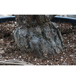 Japanese white pine, 200 cm, ± 30 years old, in a pot with a capacity of 500 liters
