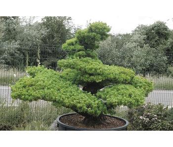 Japanese white pine, 160 cm, ± 45 years old