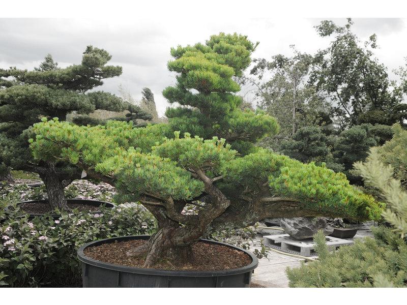 Pino bianco giapponese, 160 cm, ± 45 anni, in una pentola con una capacità di 600 litri