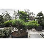 Japanse witte den, 160 cm, ± 45 jaar oud, in een pot met een inhoud van 600 liter