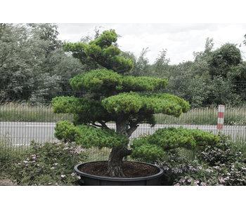 Japanese white pine, 190 cm, ± 35 years old