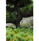 Japanese white pine, 190 cm, ± 35 years old, in a pot with a capacity of 600 liters