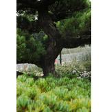 Japanische Weißkiefer, 190 cm, ± 35 Jahre alt, in einem Topf mit einem Fassungsvermögen von 600 Litern