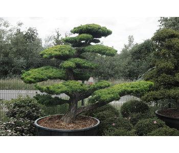 Japanese white pine, 190 cm, ± 40 years old