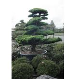 Japanse witte den, 190 cm, ± 40 jaar oud, in een pot met een inhoud van 600 liter