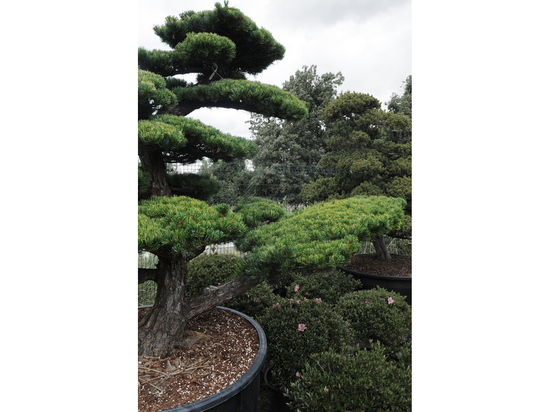 Japanese white pine, 190 cm, ± 40 years old, in a pot with a capacity of 600 liters