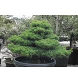 Pino bianco giapponese, 80 cm, ± 35 anni, in una pentola con una capacità di 150 litri