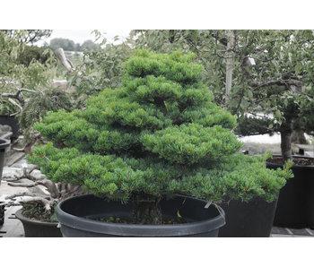 Japanese white pine, 80 cm, ± 35 years old