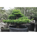 Japanese white pine, 80 cm, ± 35 years old, in a pot with a capacity of 150 liters