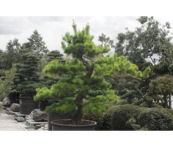 Japanese black pine, 250 cm, ± 40 years old
