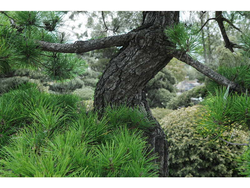 Japanese black pine, 250 cm, ± 40 years old, in a pot with a capacity of 750 liters