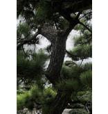 Japanische Schwarzkiefer, 250 cm, ± 40 Jahre alt, in einem Topf mit einem Fassungsvermögen von 750 Litern