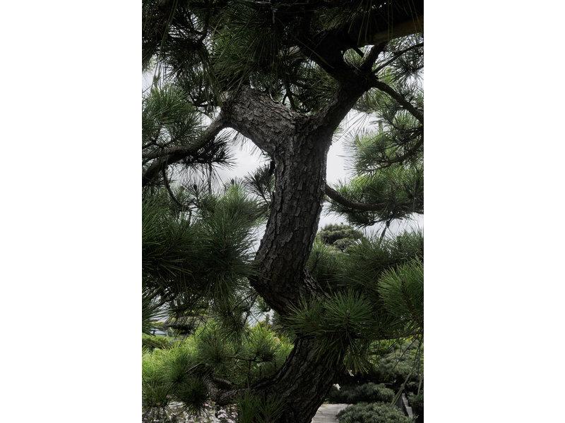 Pino nero giapponese, 250 cm, ± 40 anni, in una pentola con una capacità di 750 litri