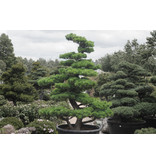 Japanese white pine, 230 cm, ± 35 years old, in a pot with a capacity of 500 liters