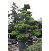 Japanse witte den, 230 cm, ± 35 jaar oud, in een pot met een inhoud van 500 liter
