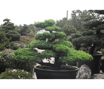 Japanse witte den, 130 cm, ± 35 jaar oud