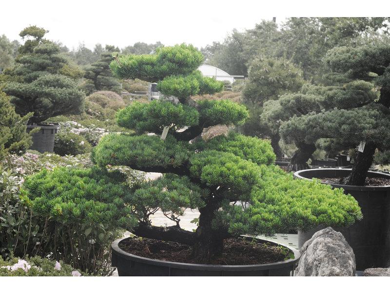 Japanse witte den, 130 cm, ± 35 jaar oud, in een pot met een inhoud van 500 liter