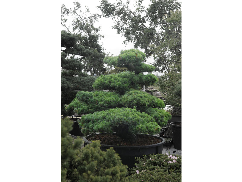 Japanese white pine, 130 cm, ± 35 years old, in a pot with a capacity of 500 liters