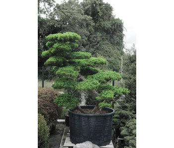 Japanese white pine, 220 cm, ± 55 years old