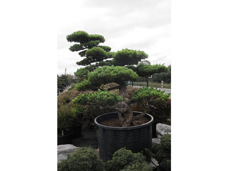 Japanese white pine, 220 cm, ± 55 years old, in a pot with a capacity of 700 liters