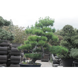 Pino nero giapponese, 180 cm, ± 35 anni, in una pentola con una capacità di 160 litri