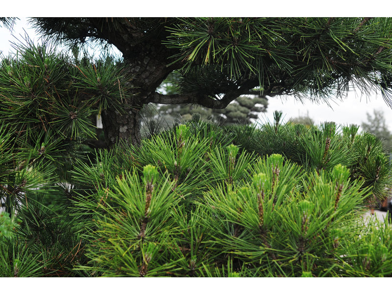 Japanese black pine, 180 cm, ± 35 years old, in a pot with a capacity of 160 liters