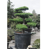 Japanese white pine, 180 cm, ± 40 years old, in a pot with a capacity of 500 liters