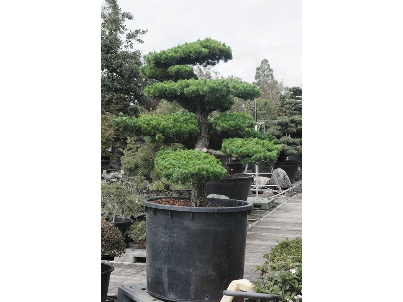 Japanse witte den, 180 cm, ± 40 jaar oud, in een pot met een inhoud van 500 liter