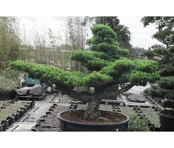 Japanse witte den, 170 cm, ± 40 jaar oud