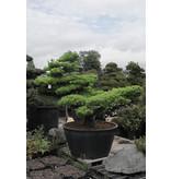 Pino bianco giapponese, 170 cm, ± 40 anni, in una pentola con una capacità di 500 litri