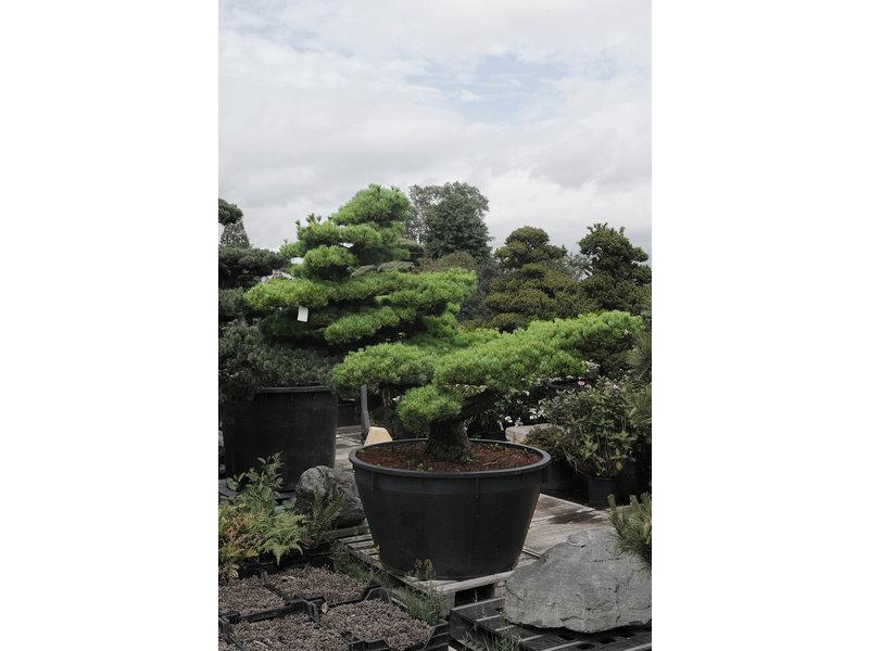 Japanse witte den, 170 cm, ± 40 jaar oud, in een pot met een inhoud van 500 liter