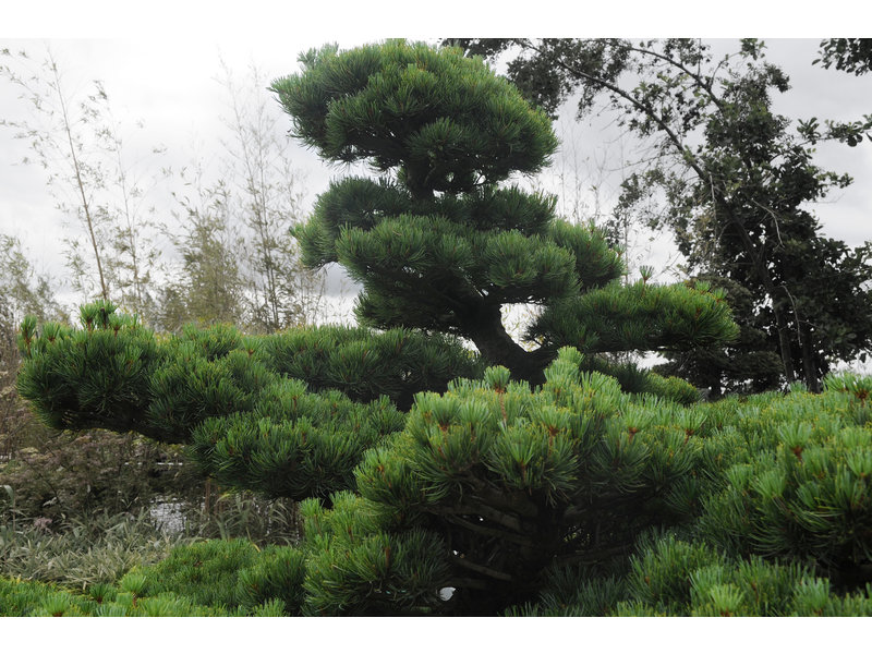 Japanese white pine, 170 cm, ± 40 years old, in a pot with a capacity of 500 liters