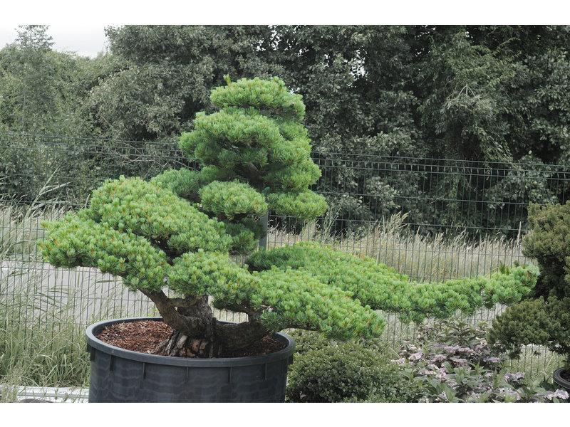 Pino bianco giapponese, 160 cm, ± 45 anni, in una pentola con una capacità di 700 litri