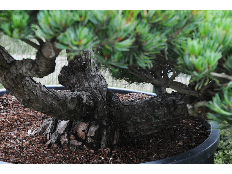 Japanese white pine, 160 cm, ± 45 years old, in a pot with a capacity of 700 liters
