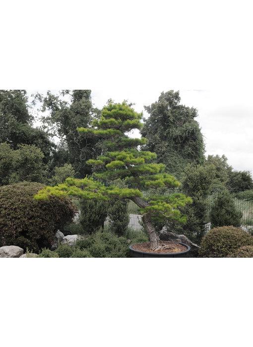 Japanese black pine, 280 cm, ± 30 years old