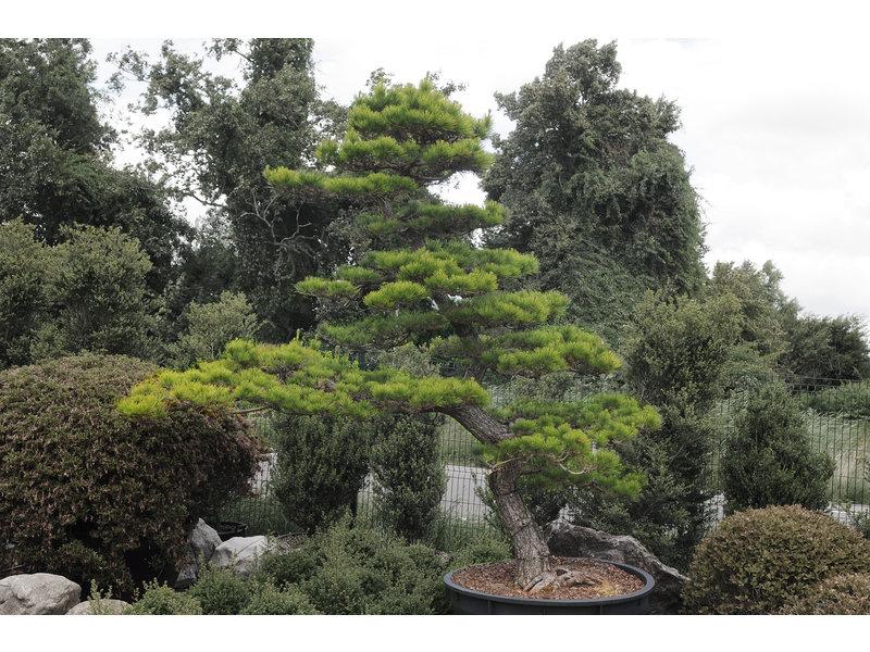 Pino nero giapponese, 280 cm, ± 30 anni, in una pentola con una capacità di 600 litri