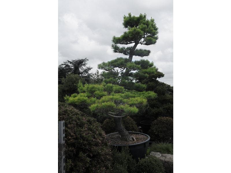Japanse zwarte den, 280 cm, ± 30 jaar oud, in een pot met een inhoud van 600 liter