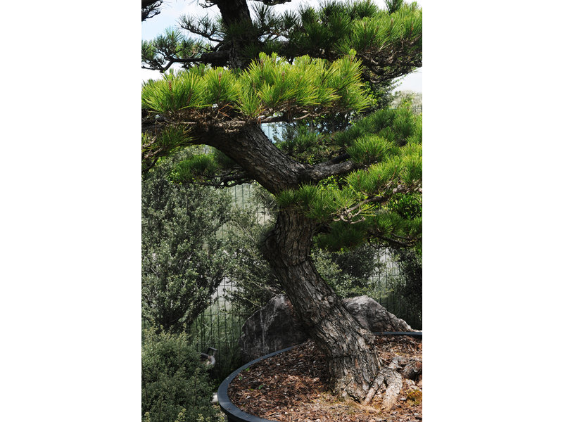Japanese black pine, 280 cm, ± 30 years old, in a pot with a capacity of 600 liters