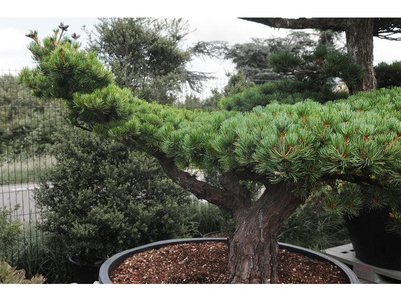Japanese white pine, 160 cm, ± 45 years old, in a pot with a capacity of 600 liters