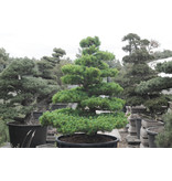 Japanese white pine, 150 cm, ± 35 years old, in a pot with a capacity of 300 liters