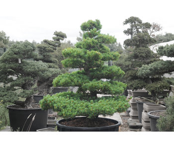 Japanese white pine, 150 cm, ± 35 years old