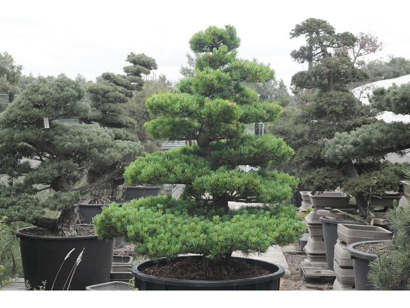 Japanse witte den, 150 cm, ± 35 jaar oud, in een pot met een inhoud van 300 liter