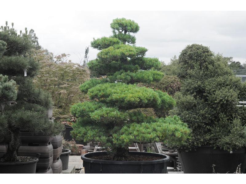 Pino bianco giapponese, 150 cm, ± 35 anni, in una pentola con una capacità di 300 litri