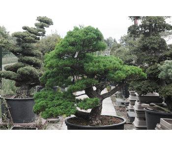 Japanese white pine, 140 cm, ± 40 years old