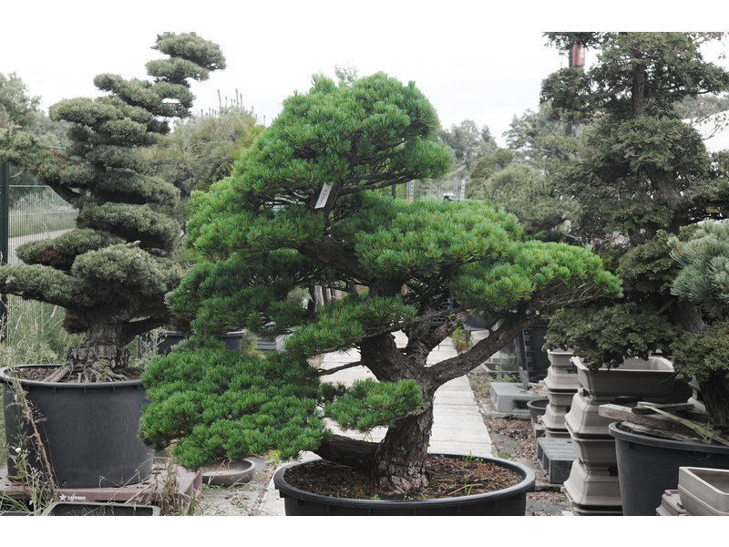 Japanese white pine, 140 cm, ± 40 years old, in a pot with a capacity of 300 liters