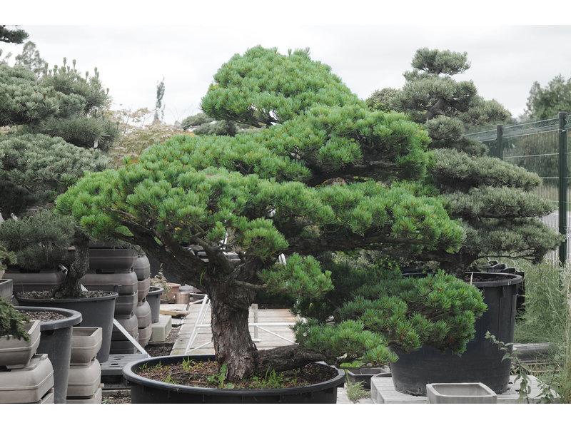 Japanse witte den, 140 cm, ± 40 jaar oud, in een pot met een inhoud van 300 liter